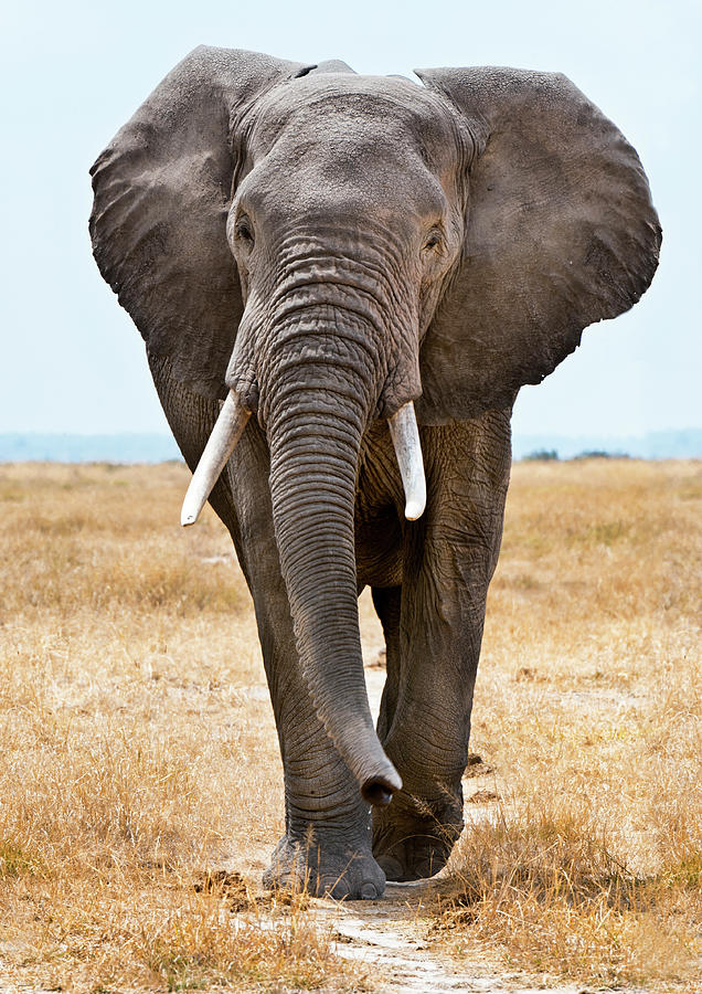 Male African Elephant Walking Photograph by Mike Hill