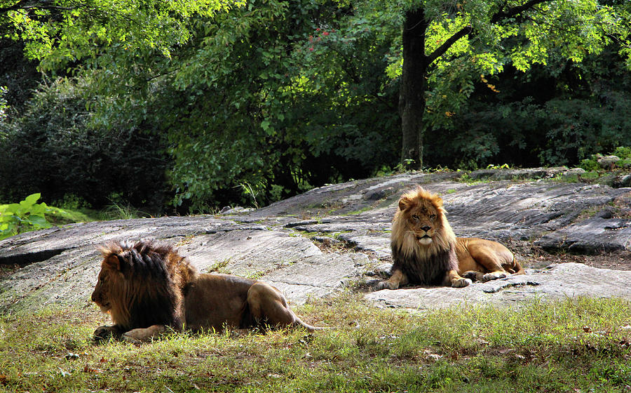 Male African Lions by Sandra Huston