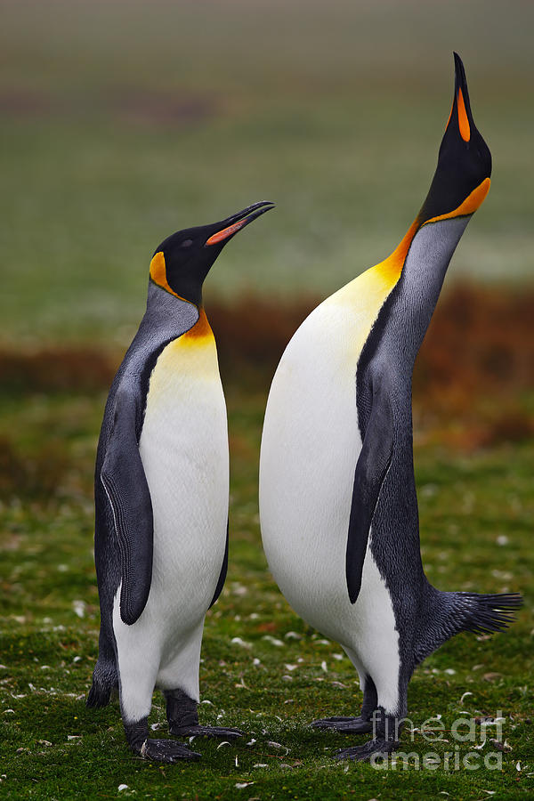 Romance Photograph - Male And Female Of King Penguin, Couple by Ondrej Prosicky