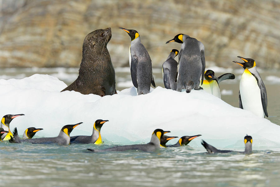 Male Antarctic Fur Seal And King Photograph by Eastcott Momatiuk