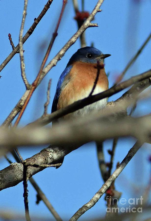 Male Bluebird Among The Branches Photograph