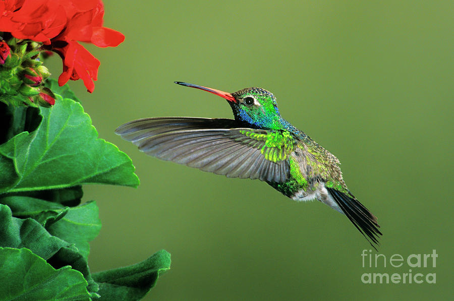 male broad-billed hummingbird at red flower by Dave Welling