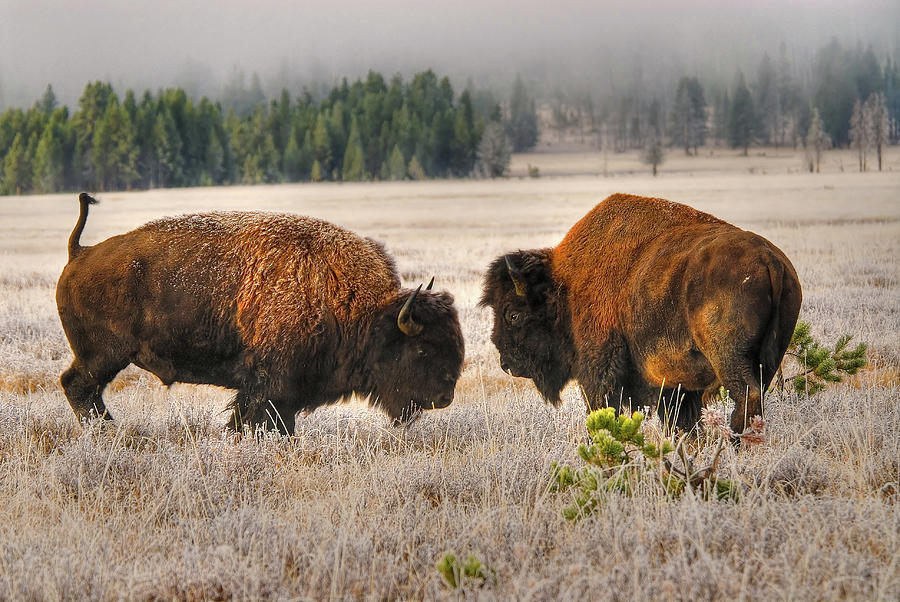Male Buffalobison Squaring Off Photograph by Larry Gerbrandt