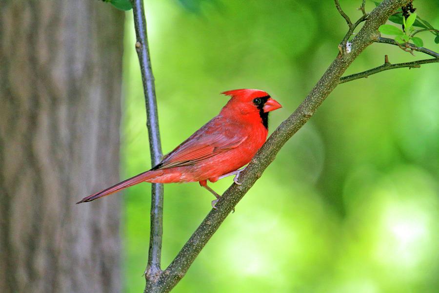 Male Cardinal And Secular Lightss Photograph