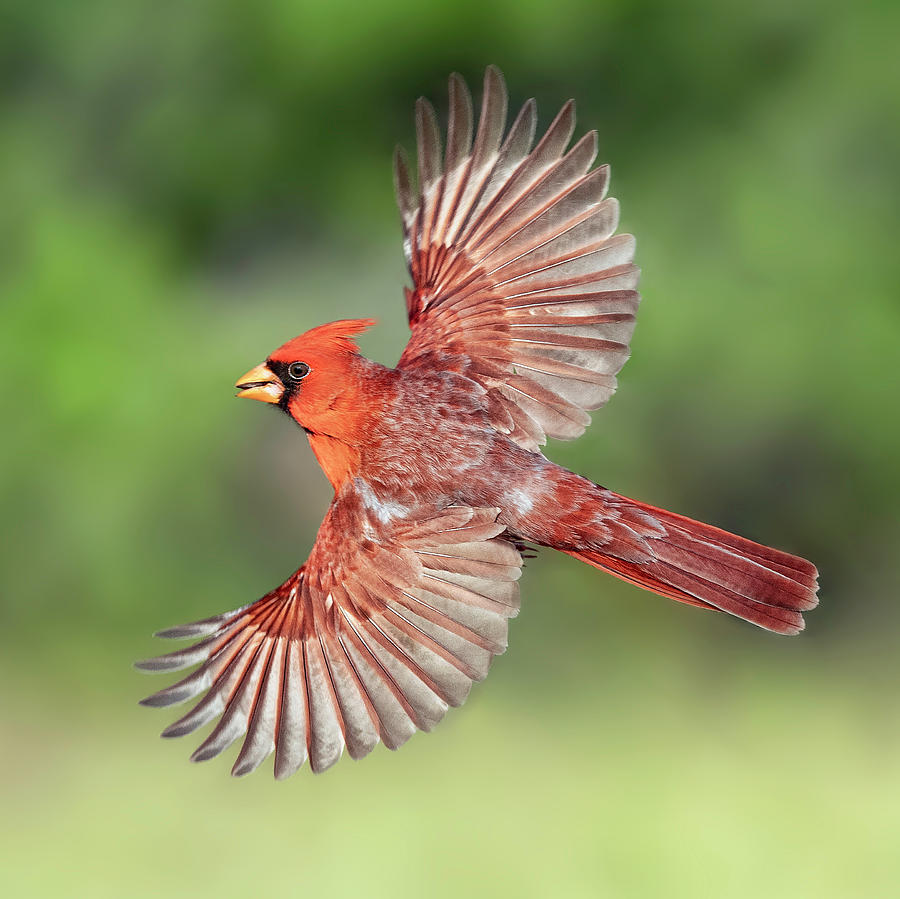 Male Cardinal In Flight by Scott Bourne