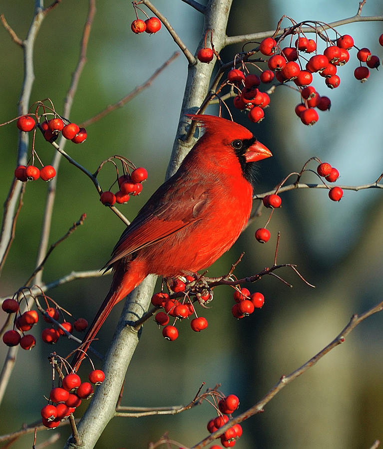 Male Cardinal On Branch Photograph by H .h. Fox Photography