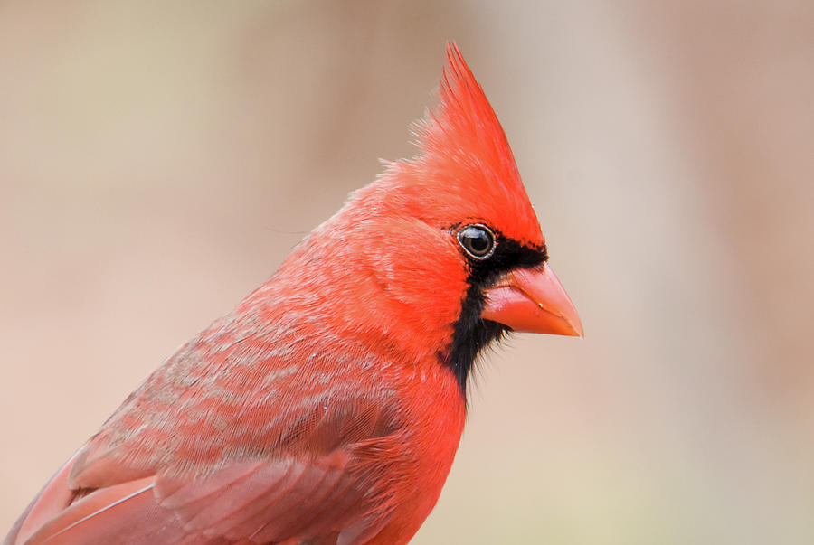 Male Cardinal by Serena Vachon