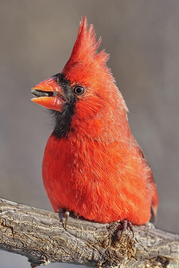 Male Cardinal with sunflower seed by Jim Hughes