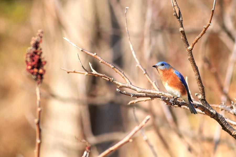 Male Eastern Bluebird Photograph