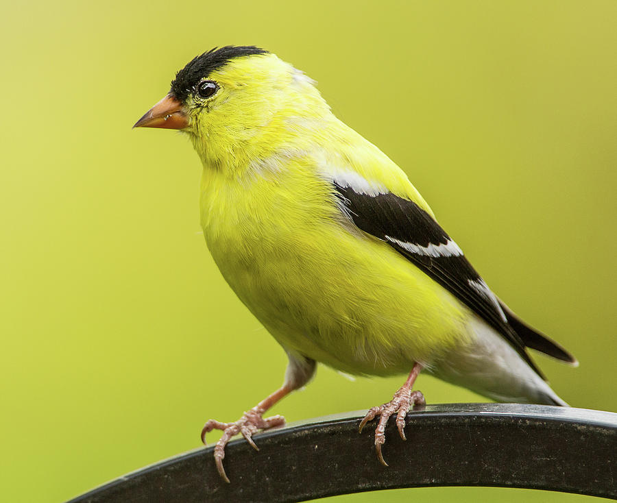 Male Goldfinch Photograph by Edward H. Pien
