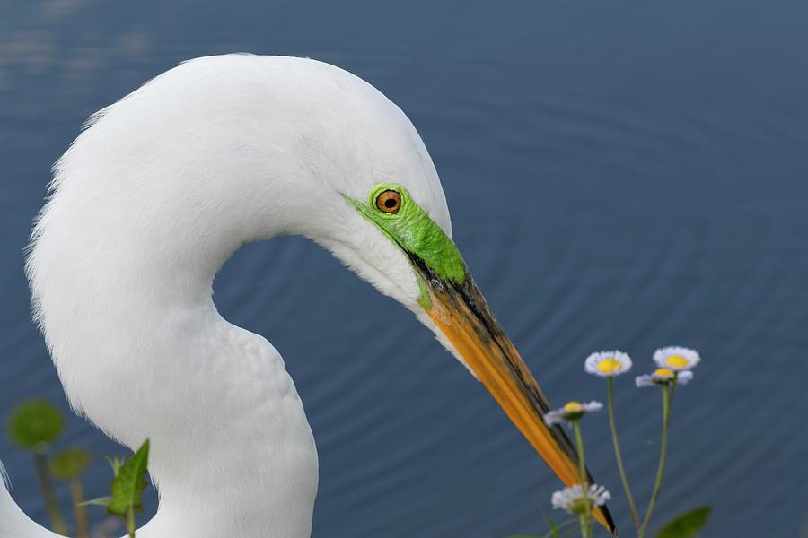 Adam Jones Photograph - Male Great Egret In Breeding Plumage by Adam Jones