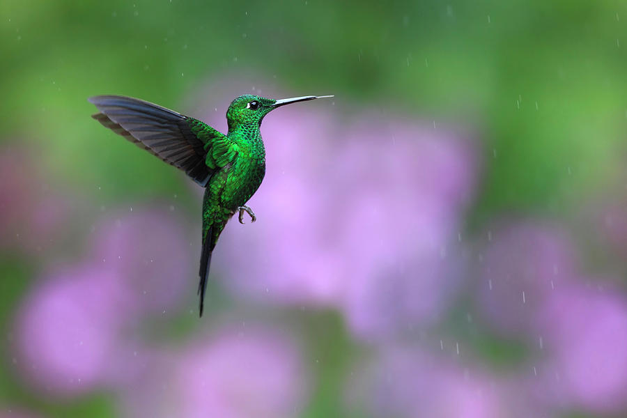 Male Green-crowned Brilliant Hovering Photograph by Mlorenzphotography