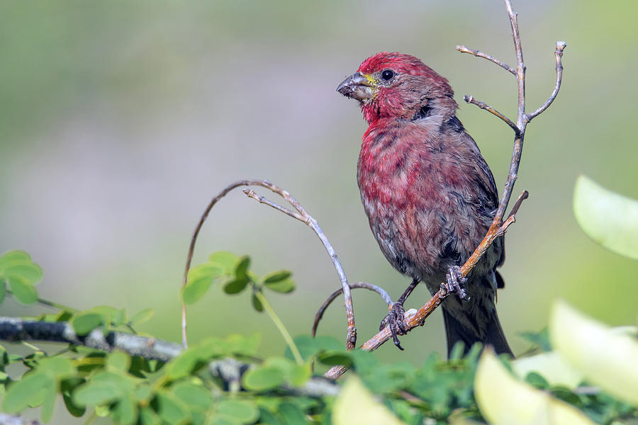 Male House Finch 9857-051219 by Tam Ryan