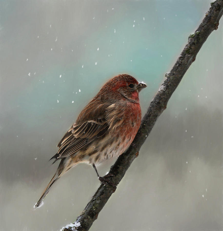 Male House Finch in Winter  by Mary Lynn Giacomini