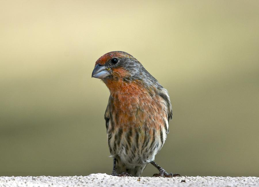 Male House Finch by Sonja Jones