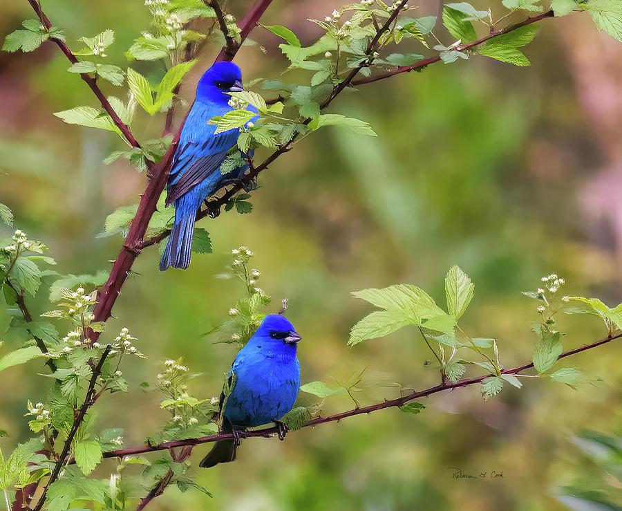 Male Indigo Buntings by Bellesouth Studio