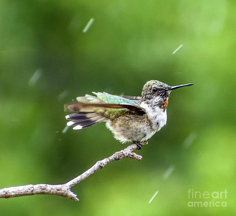 Male Juvenile Ruby-throated Hummingbird Enjoying The Rain Photograph