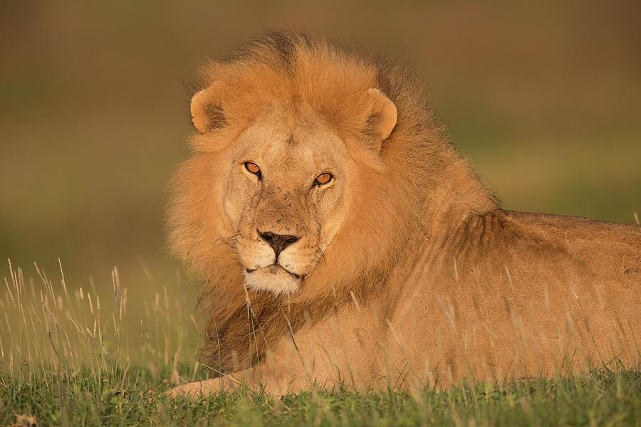 Male Lion At Sunrise Photograph by Michael J. Cohen, Photographer