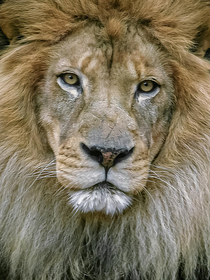 Male Lion by Don Risi