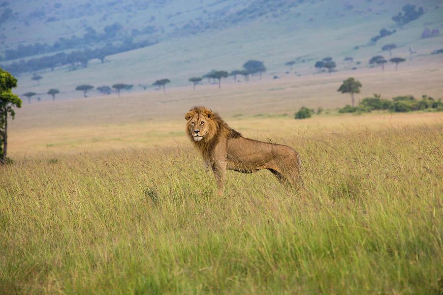 Male Lion In The Savanna Masai Mara Photograph by Seppfriedhuber
