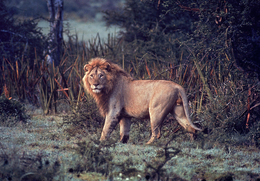 Male Lion In The Wild Photograph by John Dominis