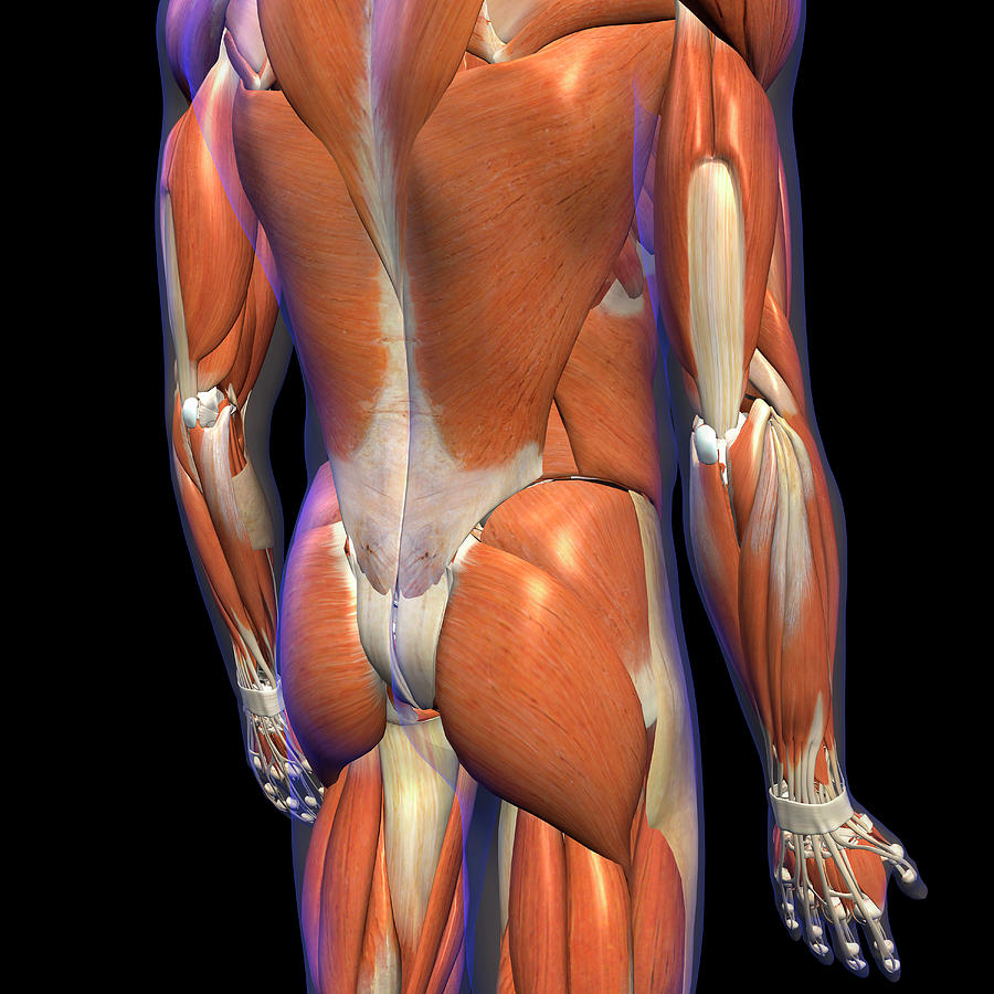 Body Photograph - Male Lower Back Muscles On Black by Hank Grebe