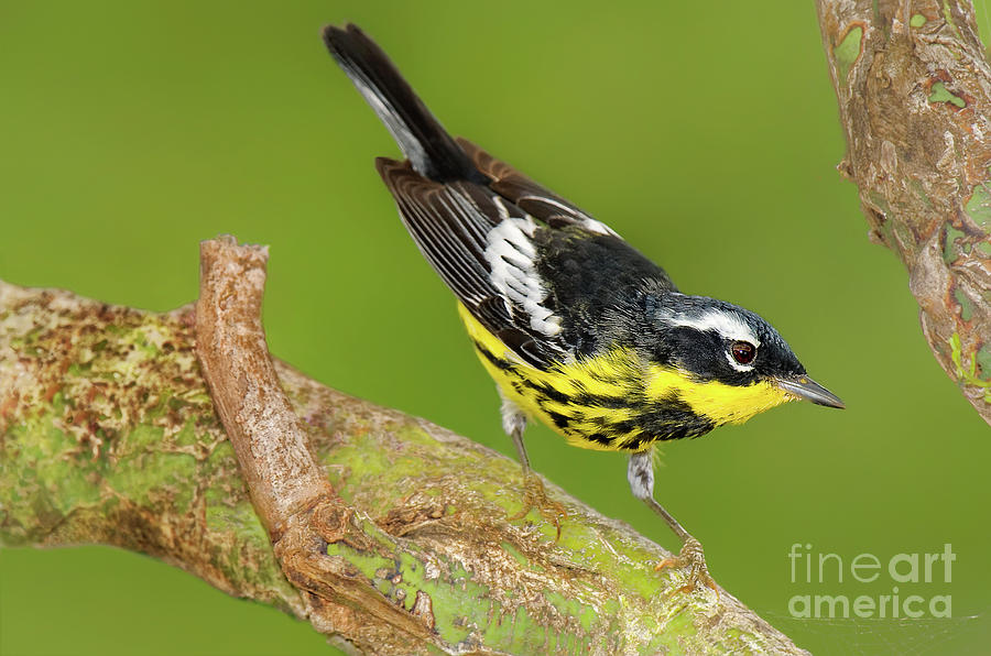 male magnolia warbler setophaga magnolia wild texas by Dave Welling