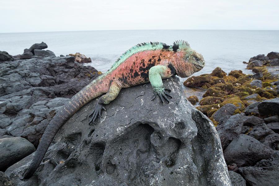 Male Marine Iguana On Lava Rock Photograph by Tui De Roy