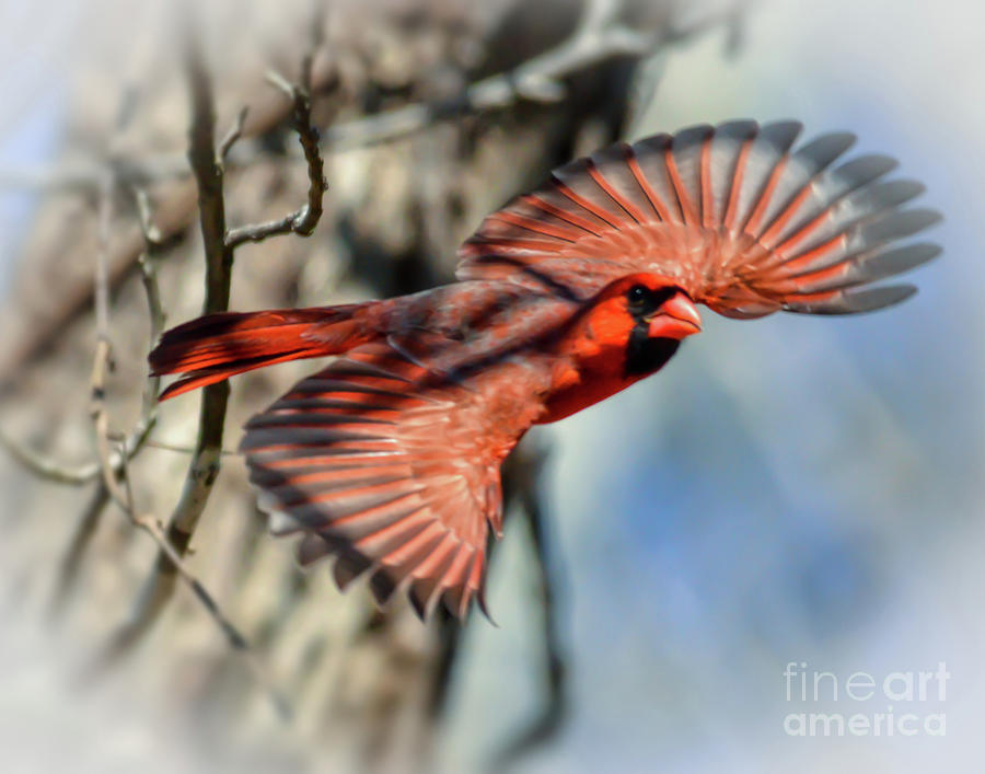 Male Northern Cardinal In Flight  by Kerri Farley