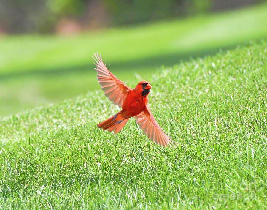 Male Northern Cardinal Spreads His Wings by Kerri Farley
