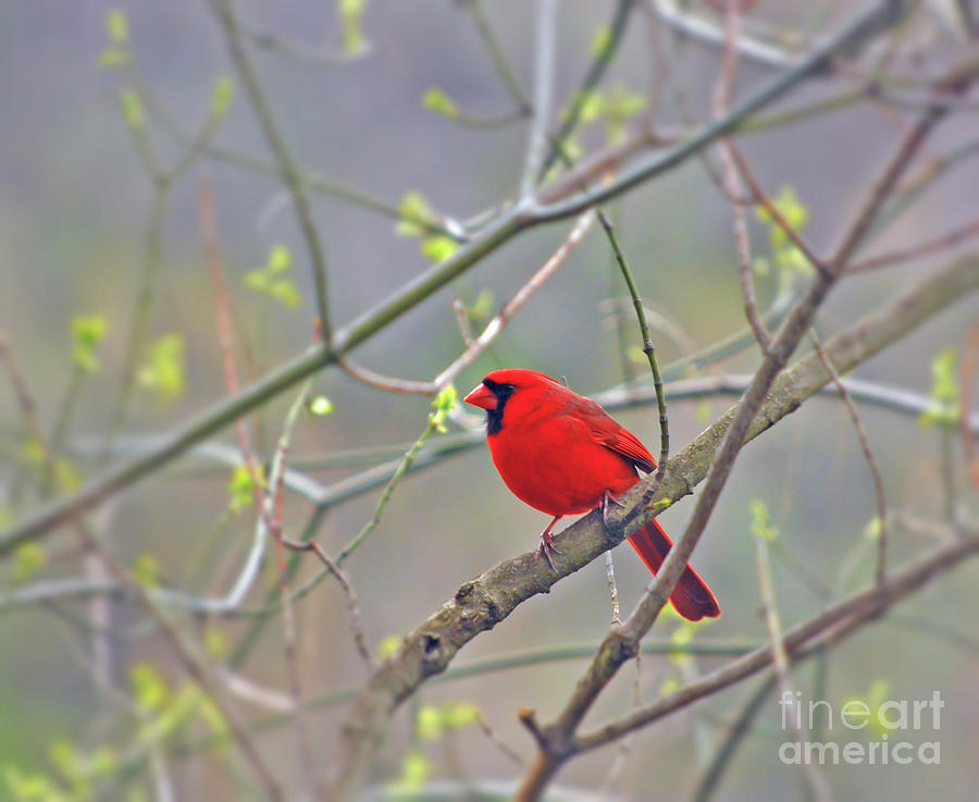 Male Northern Cardinal Surrounded by Spring by Kerri Farley
