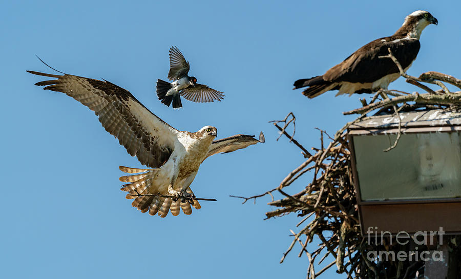 Male Osprey harrassed by an Eastern kingbird while bringing back nesting material by Sam Rino