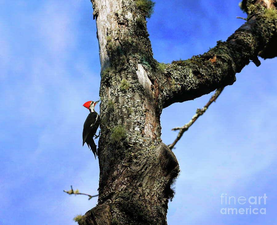 Male Pileated Woodpecker by Kerri Farley