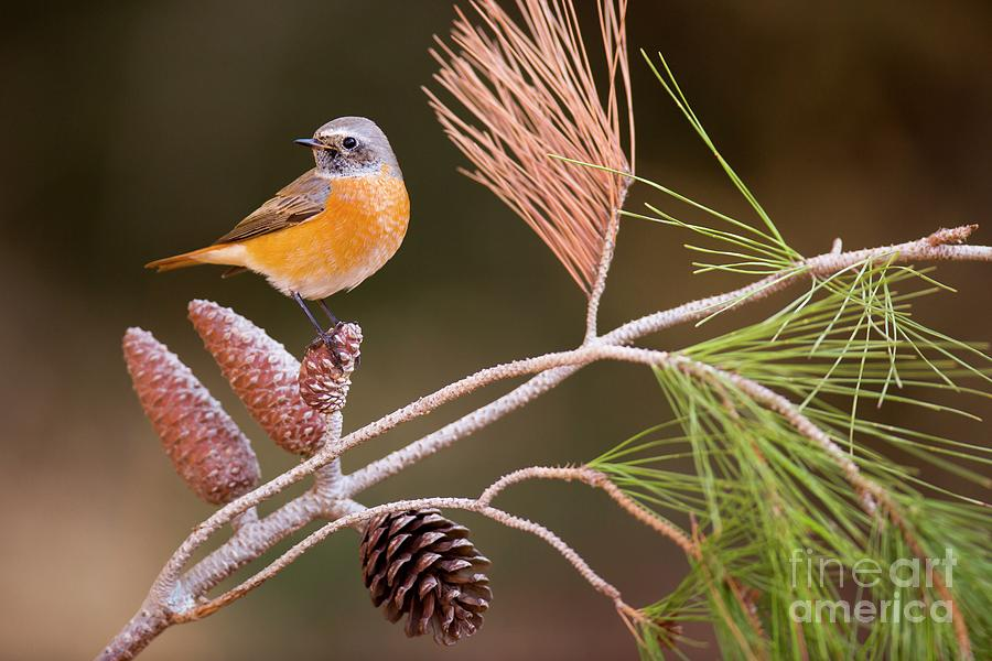 Animal Photograph - Male Redstart by Photostock-israel/science Photo Library