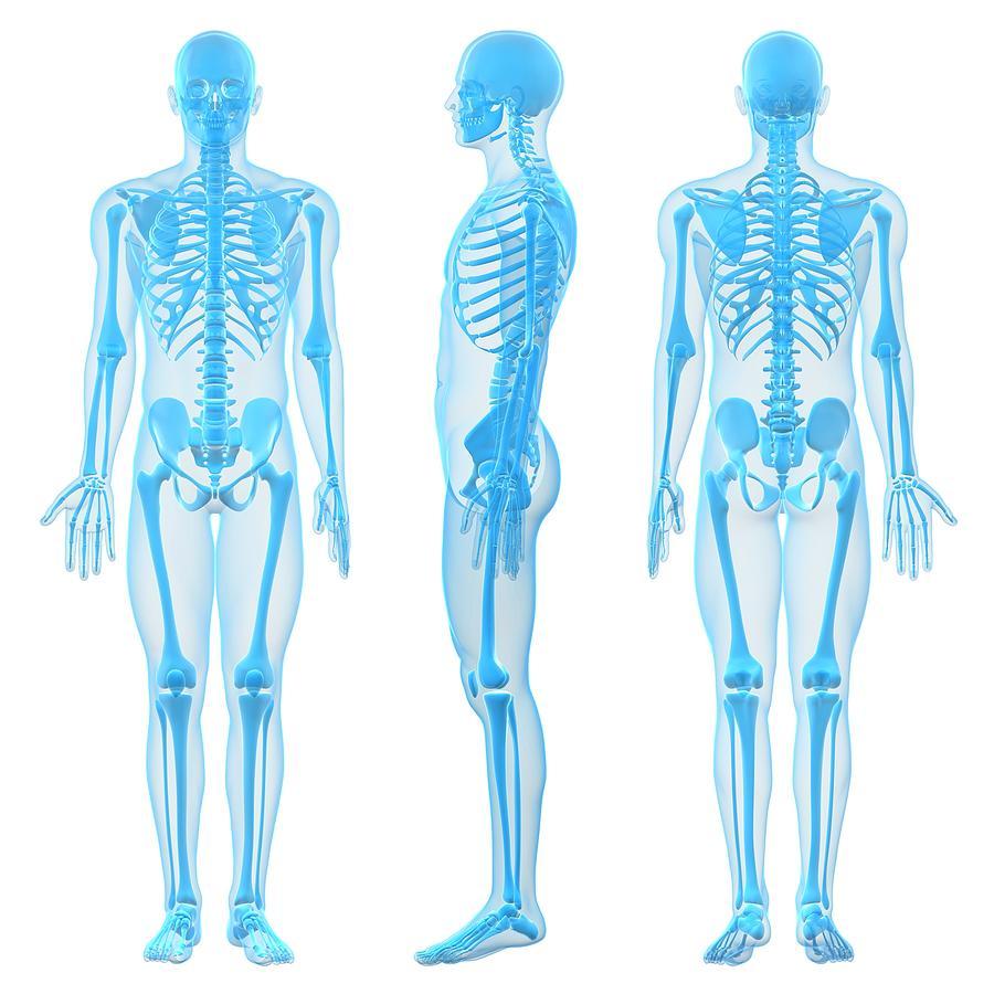 Male Skeleton, Artwork Digital Art by Science Photo Library - Sciepro