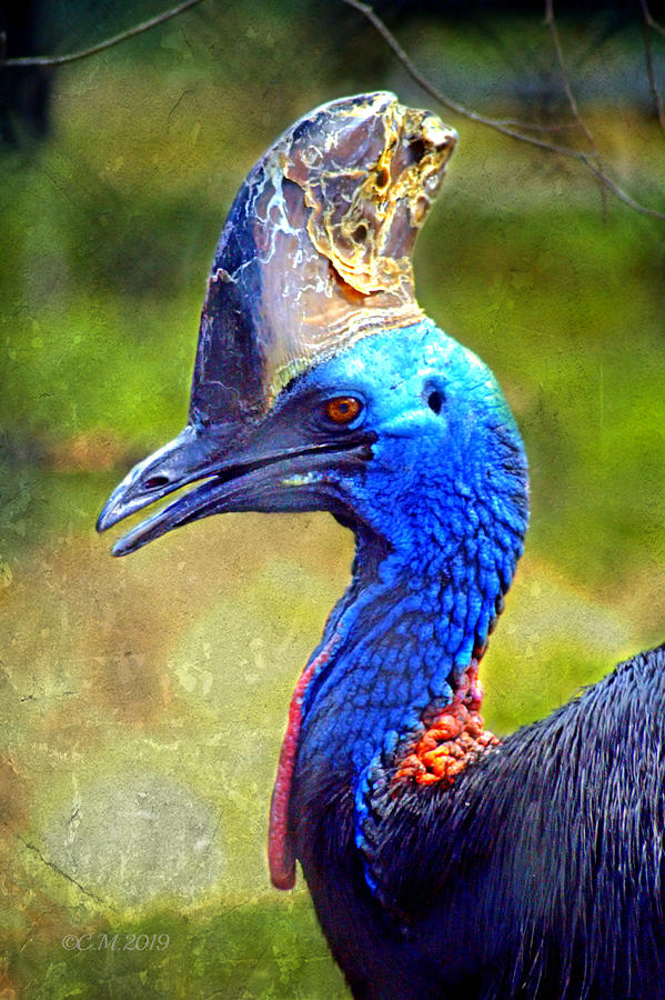 Male Southern Cassowary Photograph By Catherine Melvin
