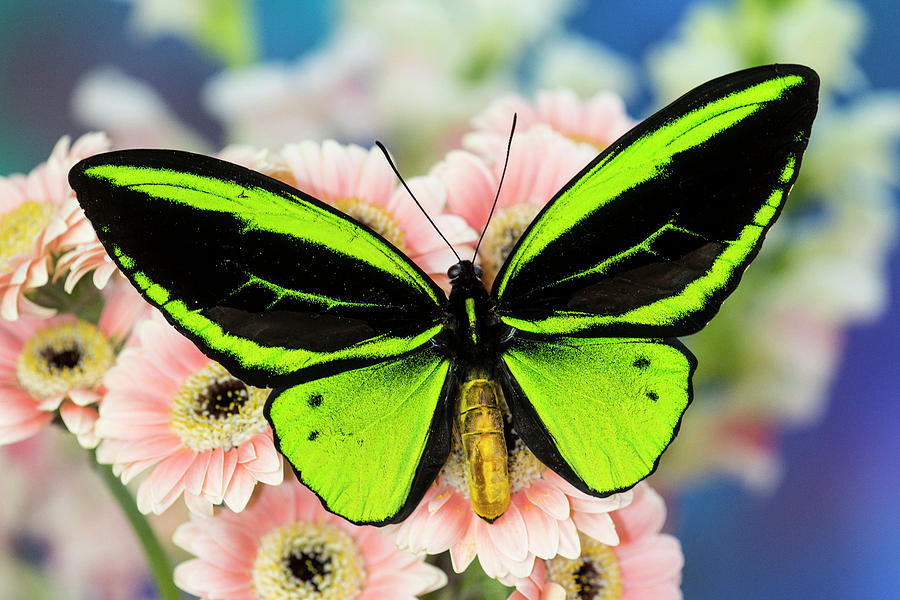 Male Tropical Butterfly Ornithoptera Photograph by Darrell ...
