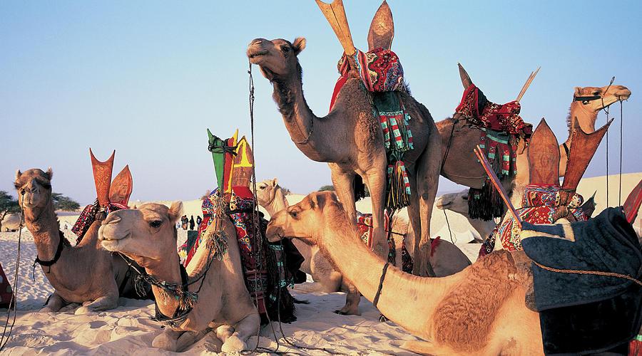 Mali, Timbuktu, Sahara Desert, Camels Photograph by Peter Adams