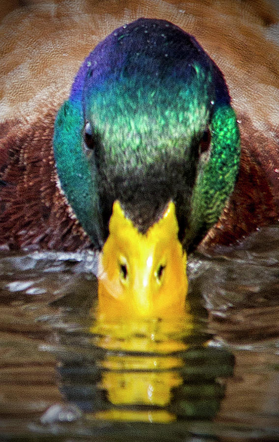 Mallard Duck by Bob Decker