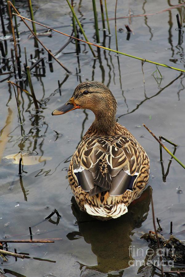 Mallard Duck Donegal Ireland by Eddie Barron