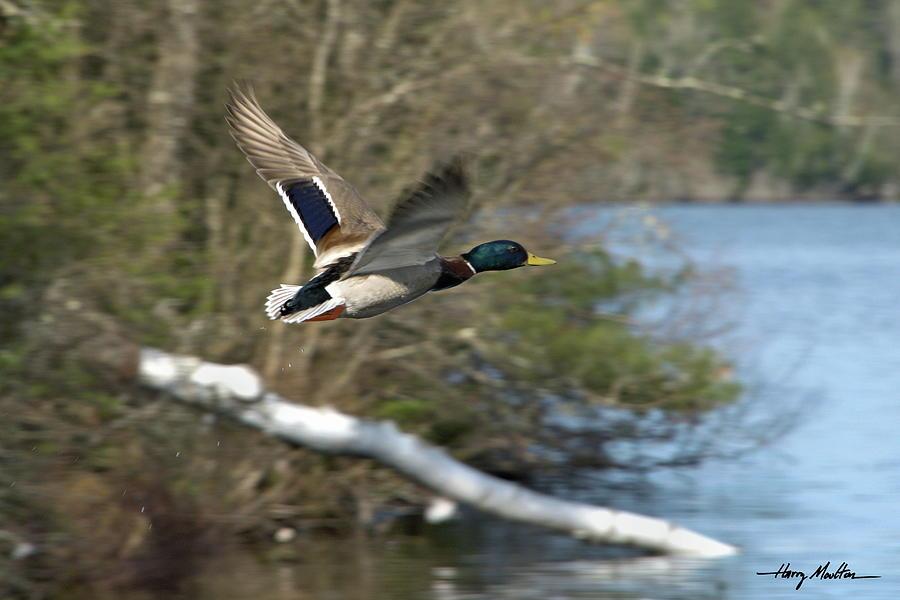 Mallard Duck by Harry Moulton