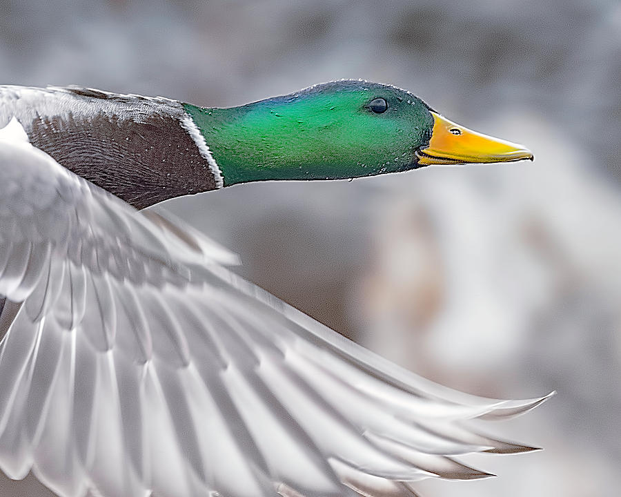 Mallard Duck in Flight Close Up by Lowell Monke