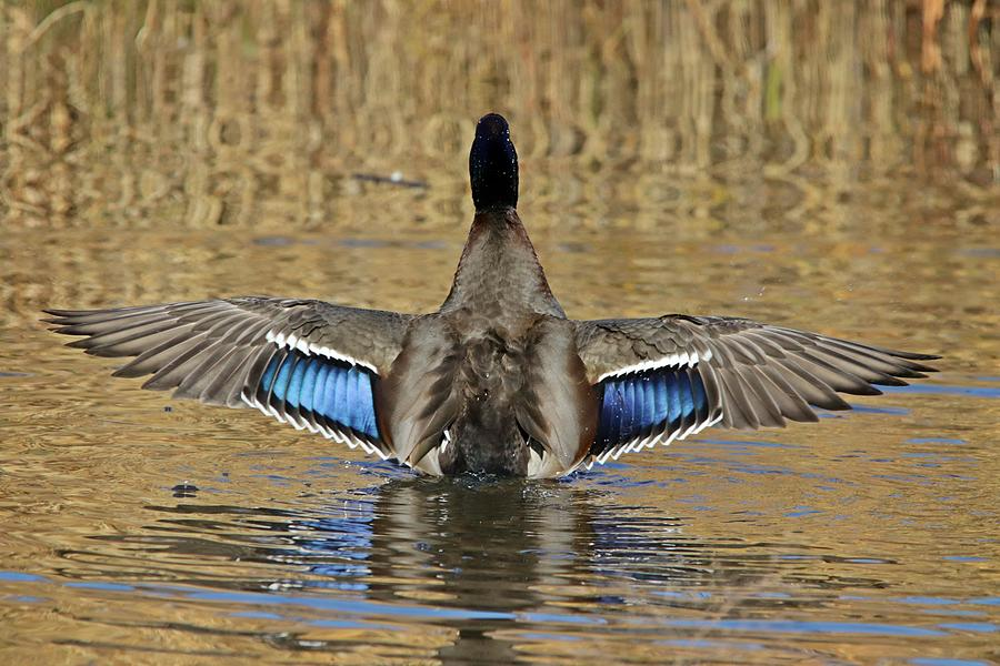Mallard Duck Wings Spread by Marlin and Laura Hum