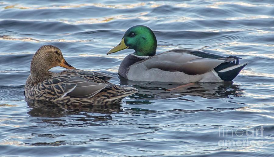 Mallard Ducks on their Southern Journey by Dale Powell