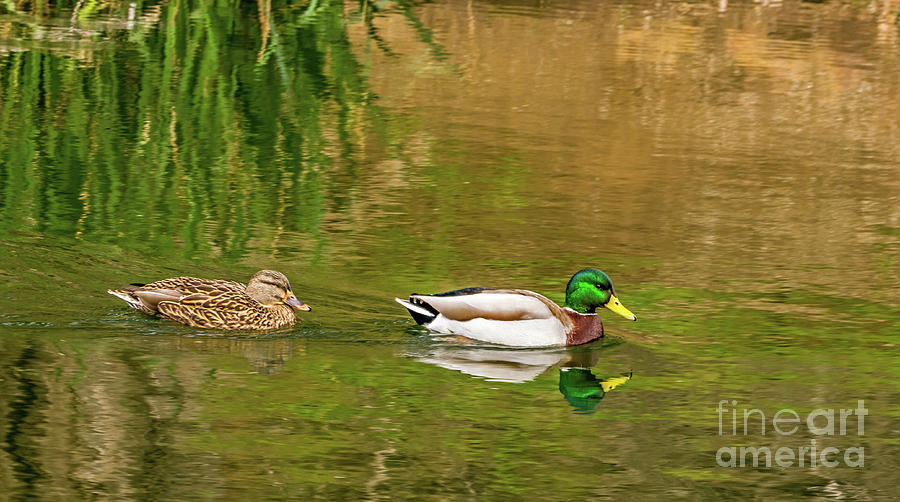 Mallard Pair II by Kate Brown