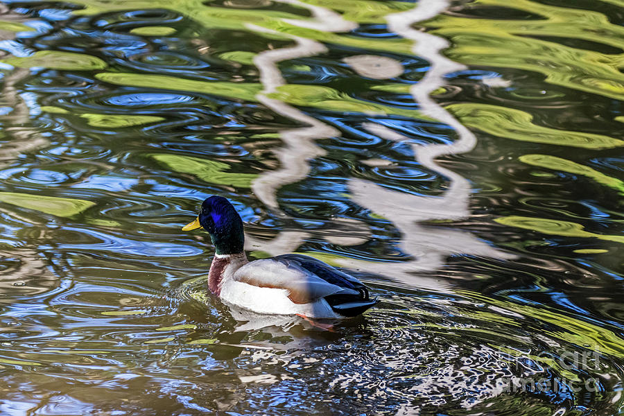 Mallard Reflected in Blue by Kate Brown