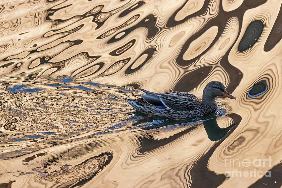 Mallard Reflections in Blue by Kate Brown
