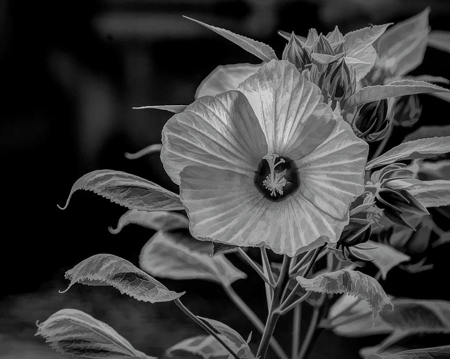 Mallow in Black and White by Cathy Kovarik