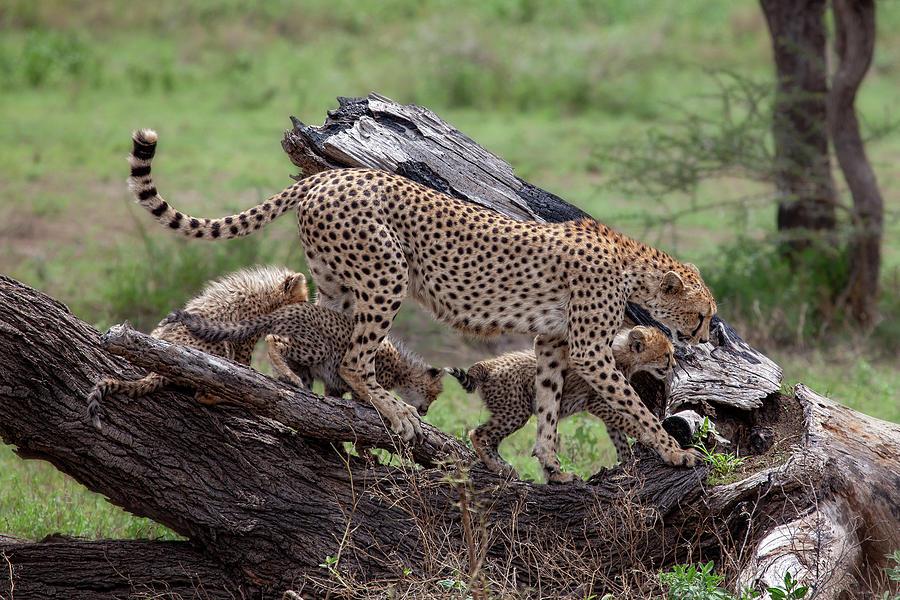 Cheetah Photograph - Mama Cheetah by Alessandro Catta