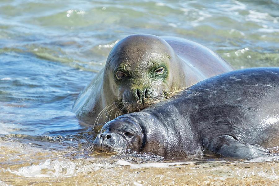 Mama Monk Seal and Pup at the Shoreline, No. 2 - RB00 and PK1 by Belinda Greb